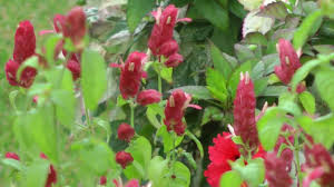 red shrimp plant attracting hummingbirds san benito texas 2013 11