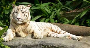 omar singapore zoo s white tiger dies channel newsasia