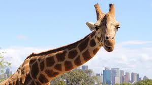 are giraffes an endangered species reference com