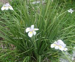 iris dietes butterfly iris dietes vegeta