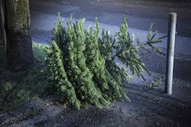 choosing a real christmas tree and christmas tree care david domoney