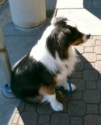 t shirt australian shepherd dog of the day australian shepherd the dogs of san franciscothe