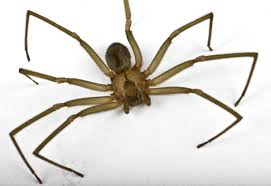 Brown Recluse Map Brown Recluse Spiders Not A Problem In Idaho Except When They