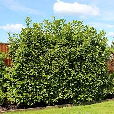 bay laurel tree for sale fast growing trees