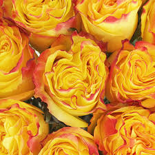 roses wholesale florida strawberry yellow flowers collection