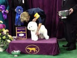 affenpinscher won westminster live tweeting from the westminster kennel club dog show today com