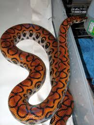 brazilian rainbow boa this is armstrong he is a family pet