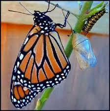 monarch butterfly moths butterflies manaaki whenua