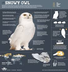 magic of the snowy owl infographic all about snowy owls