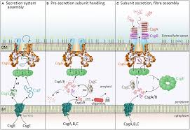 my curli frontiers new insight into the molecular of bacterial
