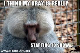 Baboon Meme - did you know that the canine teeth of alvin our hamadryads baboon
