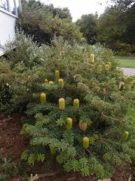 era nurseries buy trees online wholesale australian native banksia marginata dwarf coast banksia plants in the ground at