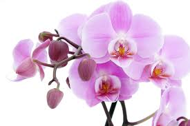 Purple Orchids Purple Orchids Flower Wallpapers All Flowers Send Flowers Comments