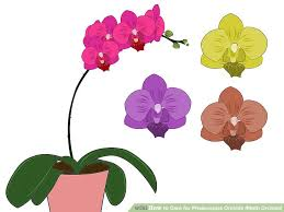 Orchid Plant How To Care For Phalenopsis Orchids Moth Orchids 7 Steps