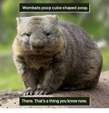 Wombat Memes - 25 best memes about wombat poop wombat poop memes