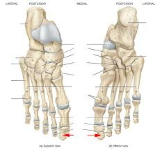 Knee Bony Anatomy Skeletal Anatomy Of The Ankle And Foot Flashcards By Proprofs