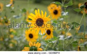 black oil sunflower helianthus annuus near thunder bay on