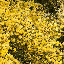 Flowering Privacy Shrubs - 16 high impact fast growing shrubs grow beautifully