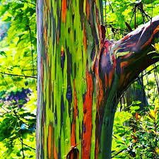 maui native plants amazing bark of rainbow eucalyptus tree native to new zealand