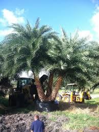 sylvester palm tree sale locate find wholesale plants plantant