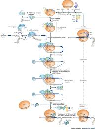 the mechanism of eukaryotic translation initiation and principles