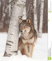 14 best wolf drawings images on wolf drawings animals wolf and