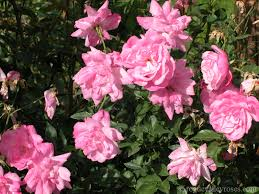 china with roses blush parson s pink china rogue valley roses