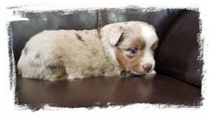 circle c australian shepherds idaho aussies the boysview our siresincluding im your