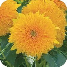 teddy sunflowers teddy sunflowers harvey designs events