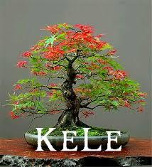 japanese maple bonsai tree cheap seeds mini bonsai seeds 20