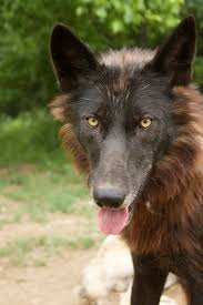 belgian shepherd south africa more than a spot in the sun