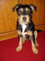 haircut ideas for long hair jack russell dogs yorkie jack russell mix this is the doggie i want i