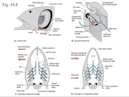 amazing free comparative anatomy resource also sharks also for