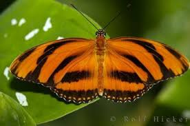 tiger butterfly photo information