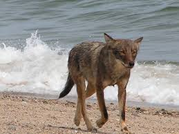 Can Coyotes See Red Light Cape Cod Coyotes Vs Wolves What Do We Have Here Cape Cod