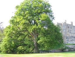 list of all oak tree species names and types