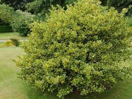 18 best structural shrubs or small trees images on