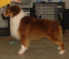 grooming a australian shepherd australian shepherd guide this is an athletic dog of medium size
