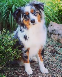 5 month old mini australian shepherd texas mini aussie rescue home facebook