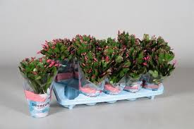 christmas plant christmas cactus plant in a 10cm pot schlumbergera ebay