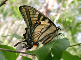 canadian tiger swallowtail wisconsinbutterflies org