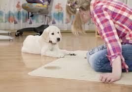 american eskimo dog odor how to get rid of dog urine smell american kennel club