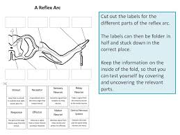 Relex Arc Reflex Arc Create A Labelled Diagram By Ineedtoteachthat