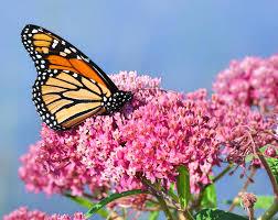 8 ways that you can help save monarch butterflies inhabitat