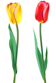 tulip png images free download