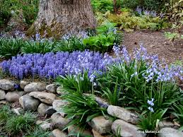 spanish bluebell in a woodland setting accompanied by a matching