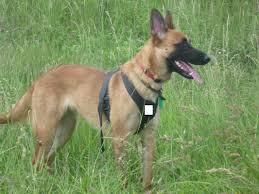belgian malinois names ruth belgian malinois working dogs uk