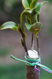 scion plant the art of camellia grafting example 1 sazanka