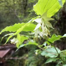 native plants of the northeast earliest blooming native plants of the northeast ruby leaf