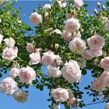 new dawn climbing roses type